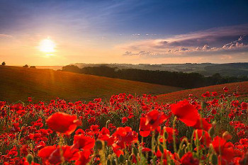 poppy-field-gallery.jpg